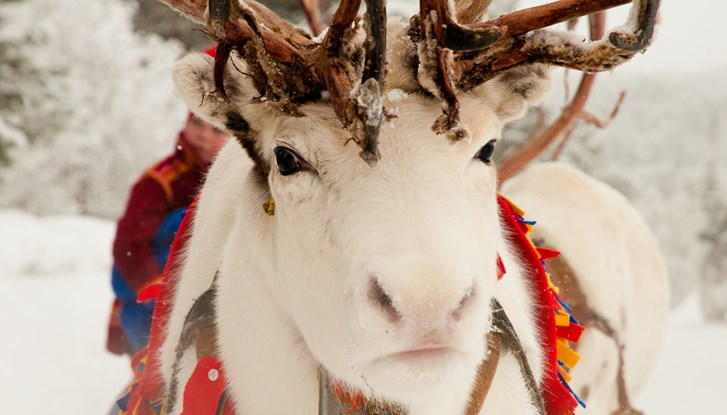 White moose christmas